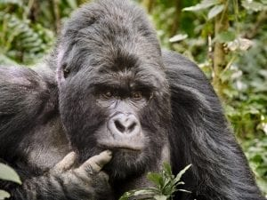 fun facts about congo