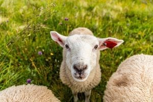 fun facts about sheep