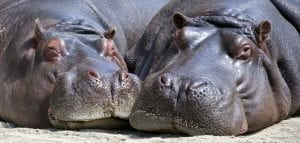 Facts about Hippos