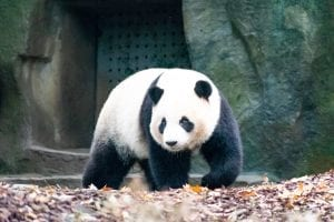 facts about the Giant Panda