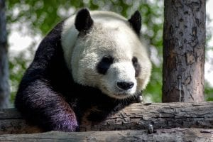 facts about giant pandas
