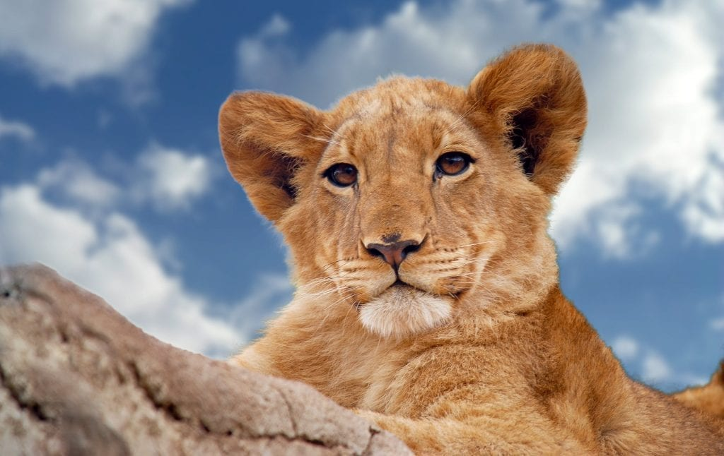 facts about lion cubs