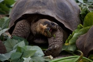 facts about Galapagos Tortoise