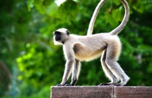 facts about spider monkeys