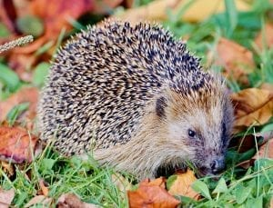 fun facts on hedgehogs