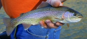 nutrition facts rainbow trout