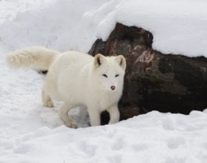 Arctic Fox Facts