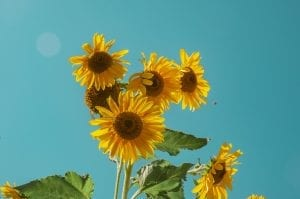 fun facts about sunflowers