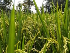 interesting facts about rice