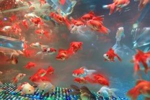 Goldfish Facts