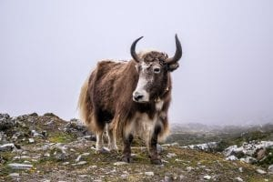 Yak Facts