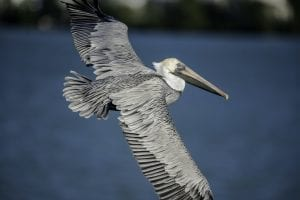facts about Pelicans