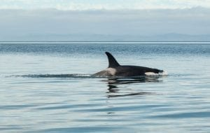 facts about killer whales