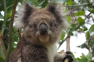 facts about koalas