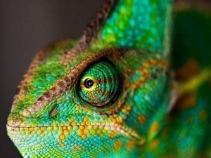 fun facts about chameleons