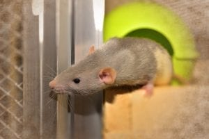 fun facts about rats