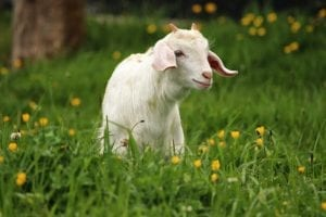 funny facts about goats