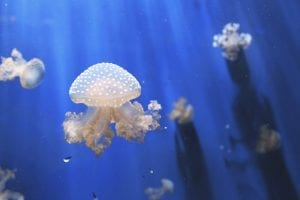 interesting facts about Jellyfish