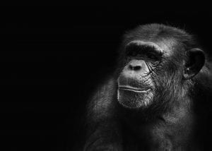 Facts about Chimps