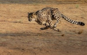 Fun Facts about Cheetahs