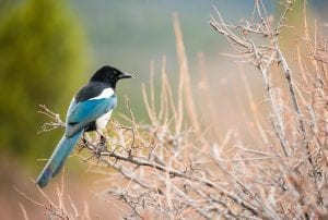 Fun facts about Magpies
