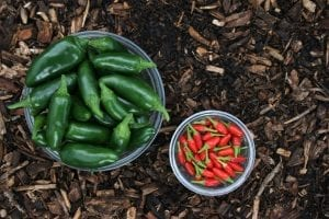 Hot facts about Chilli