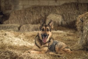 Interesting Facts about Germany Shepherd Dogs