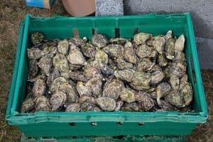 Oyster Facts