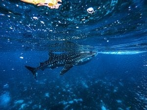 Whaleshark Facts
