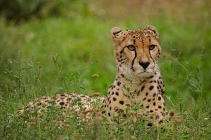 interesting Cheetah Facts